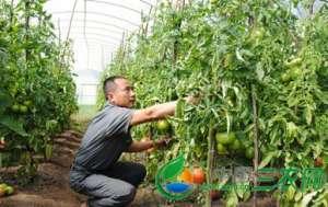 云南镇康县南伞镇蔬菜产业稳健发展